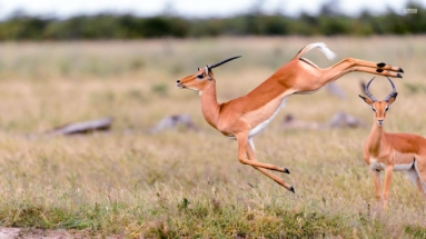 gazelle-leaping